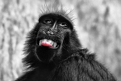 Celebes Crested Macaque Laughing