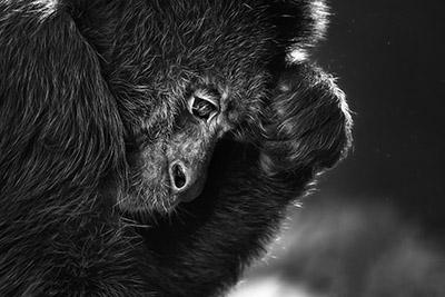 The Thinker Monkey
