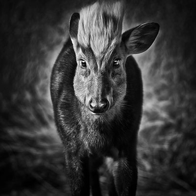 Hairy-Fronted Muntjac