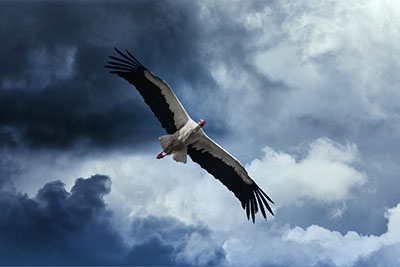 Stork (1)
