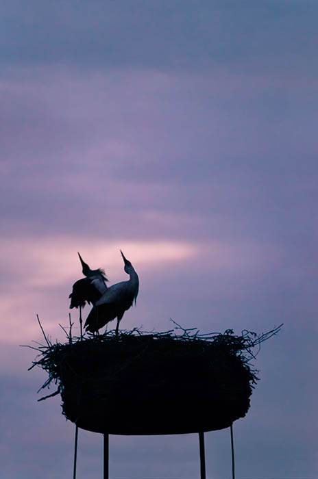 Stork (8)
