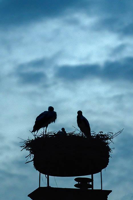 Stork (9)